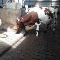 Dairy Scratchy (1)